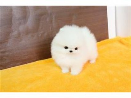 Sweet Pomeranian Puppies For Sale.
