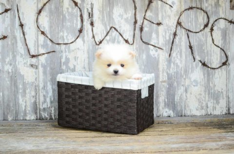 Good Temperament  Pomeranian Puppies For Sale.