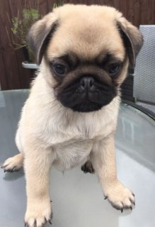 Gorgeous Pug Puppies Ready To Leave In One.