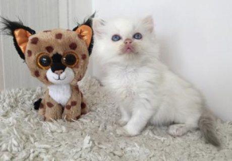 Hand-Raised Ragdoll Kittens available