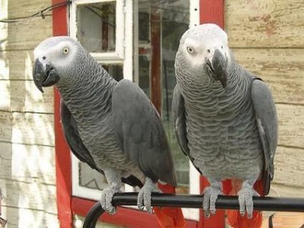 African Grey Parrots Well Trained