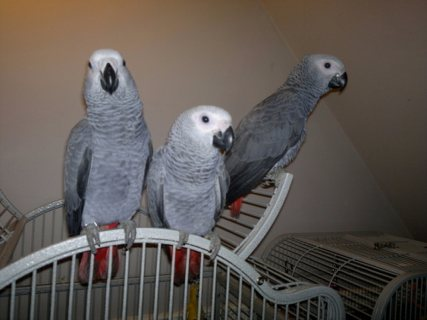 Outstanding African Grey Parrots For Sale7