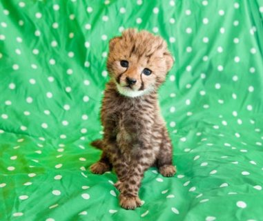 cheetah available for good homes