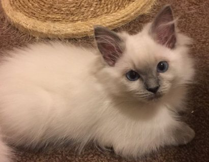 Quality home raise Ragdoll kittens for sale