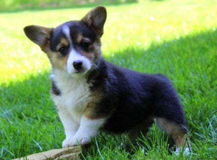 صور Sweet adorable Pembroke welsh corgis for sale 1