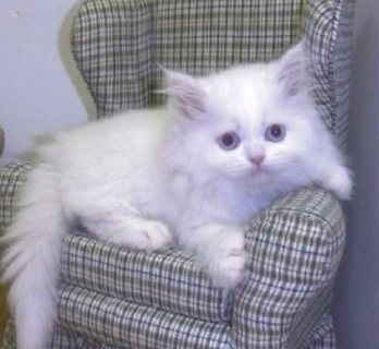 Cute white Persian kittens for sale