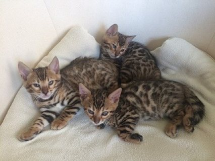 Baby Bengal Kittens For Sale