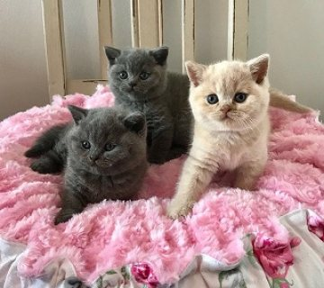 British Shorthair Kittens Available for Sale