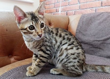 Outstanding Savannah Kittens for Sale