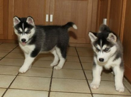 Siberian Husky Puppies Available for Sale