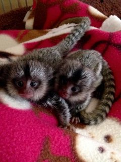 Playfull Marmoset Monkeys for Sale