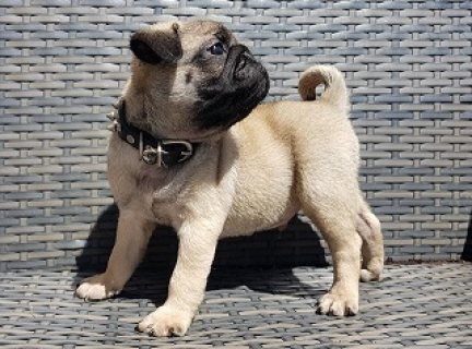 Two Pug Puppies for Sale
