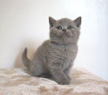 Beautiful British Short-hair Kittens