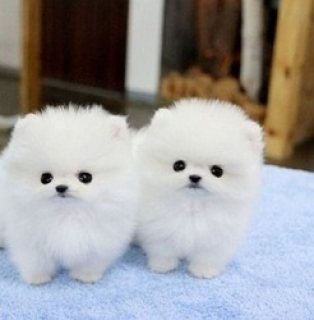 Home Raised Teacup Pomeranian Puppies for sale.