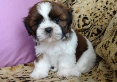 Bi-Color Shih tzu Puppies Available