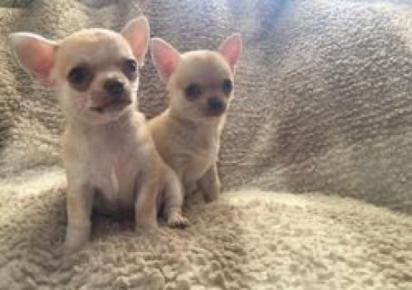 صور Lovely chihuahua puppies For Sale. 1