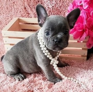 صور Healthy French Bulldog Puppies For sale 1