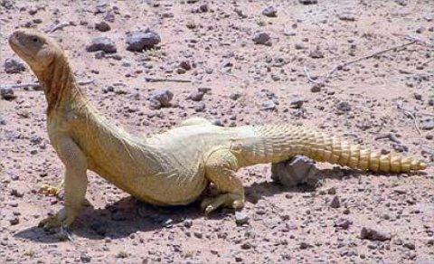 مطلوب ضب Uromastyx Lizard