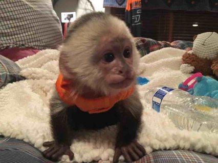 Healthy Capuchin Monkeys For sale.