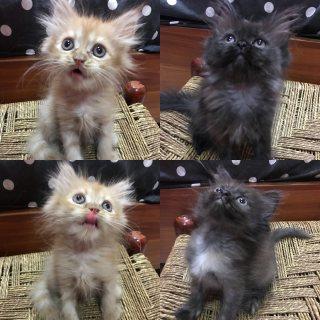 للبيع قطط شيرازيه صغيره