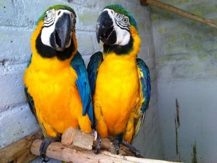 Macaw parrots male and female for Available