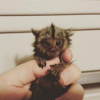 Adorable and Sweet Marmoset Monkeys for Sale