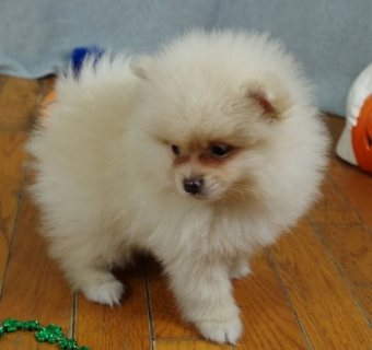 Elite Pomeranian puppy