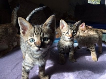 TICA Savannah kittens Available