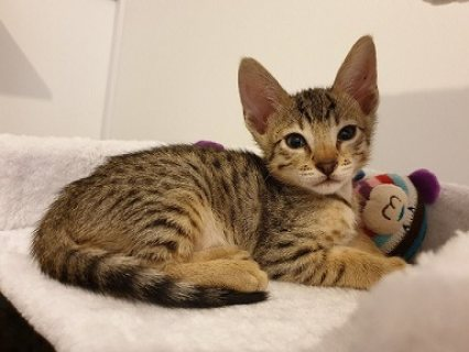 Home Raised Savannah Kittens