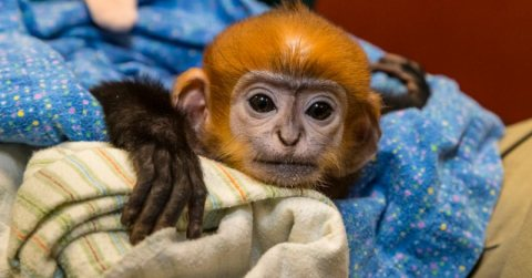 Capuchin Monkeys for Sale