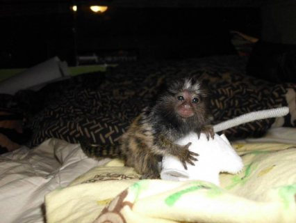 Sweet Marmoset Monkeys for Sale