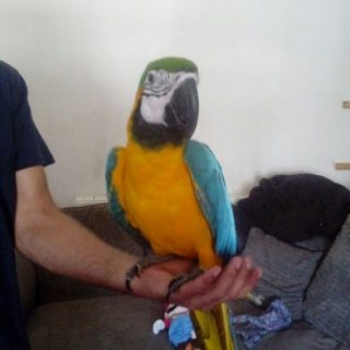Macaws Looking For A Good Home