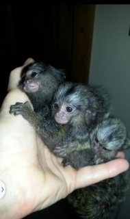 Male and Female Marmoset Monkeys