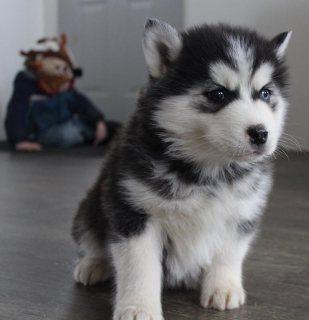 Kc Registered Siberian Husky Pups For Sale
