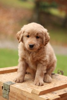 Golden Retriever pup for sale