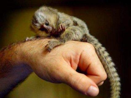 Amazing Capuchin
