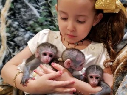 Male And Female Baby Capuchin Monkey Available