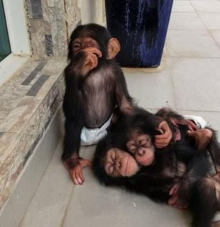 صور CHIMPANZEES MONKEYS AVAILABLE 1