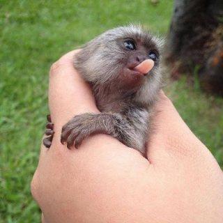 Finger  Monkeys for Adoption