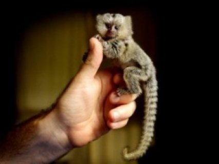 Baby Marmoset Monkeys for free adoption