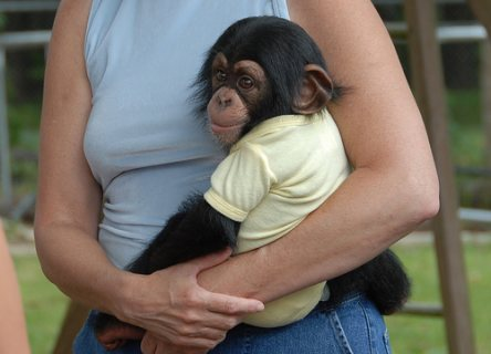 beautiful male and female chimpanzee monkey for adoption