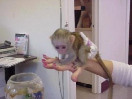Cute babies Male/female Capuchin monkey for Adoption