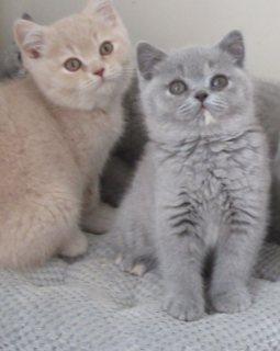 Lovely British Shorthair Kittens For Sale