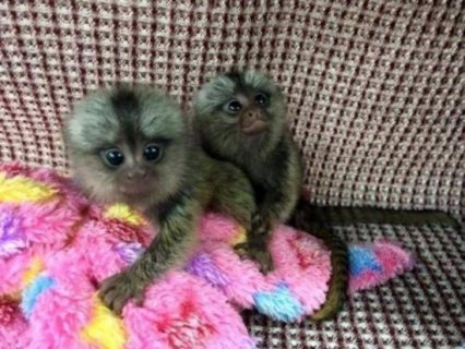 marmoset and capuchin monkeys whatsapp . +17249132010
