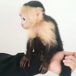 Baby Pet Capuchin monkeys for sale whatsapp . +17249132010