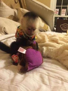 dorable capuchin monkeys available now