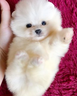 Two Awesome T-Cup Pomeranian Puppies whatsapp . +17249132010