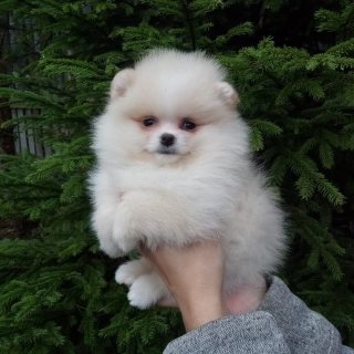 Cute Pomeranian puppies for sale.