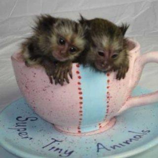 Minimature Marmoset Monkeys for sale.