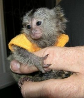 Home Raised Marmoset Monkeys For Sale.